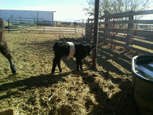 Belted Galloway calf at Starbar Ranch
